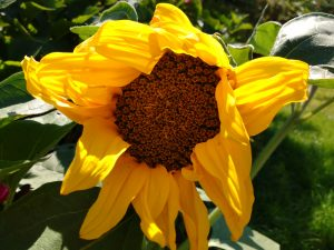 axe your 9 to 5 sunflowers by jeff james